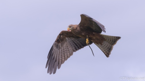 A Yellow Billed Kite (2) - click to enlarge