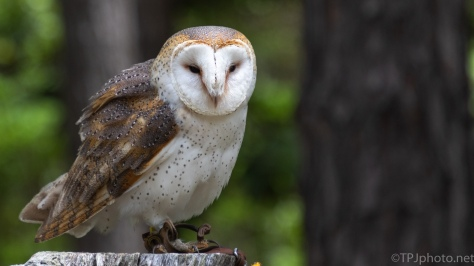 Barn Owl Series - click to enlarge