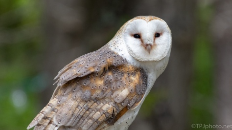 Barn Owl, Earth Day 2018 - click to enlarge