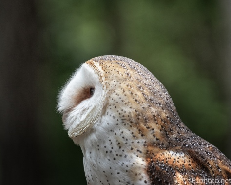 Portrait Of A Barn Owl - click to enlarge