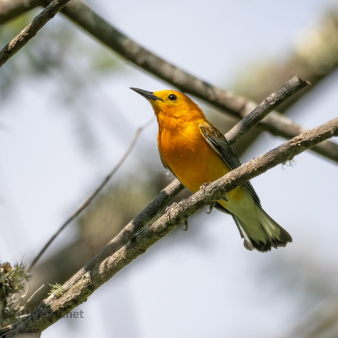 Prothonotary Warbler - click to enlarge