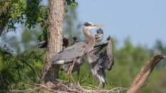 Heron, Adult With Young - click to enlarge