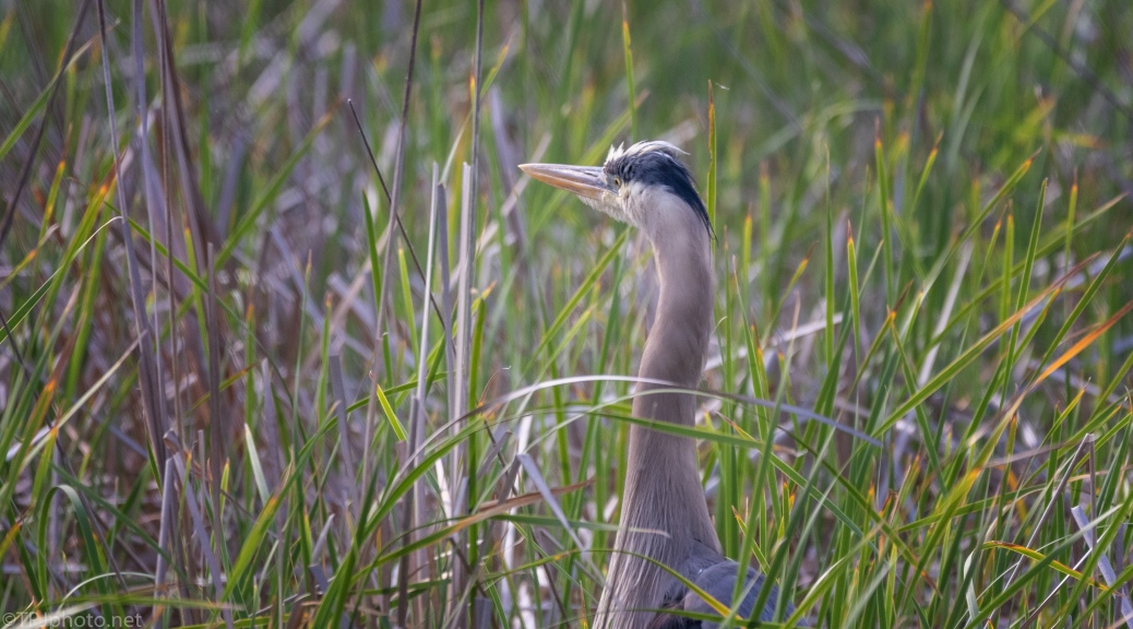 In A Marsh, Great Blue - click to enlarge