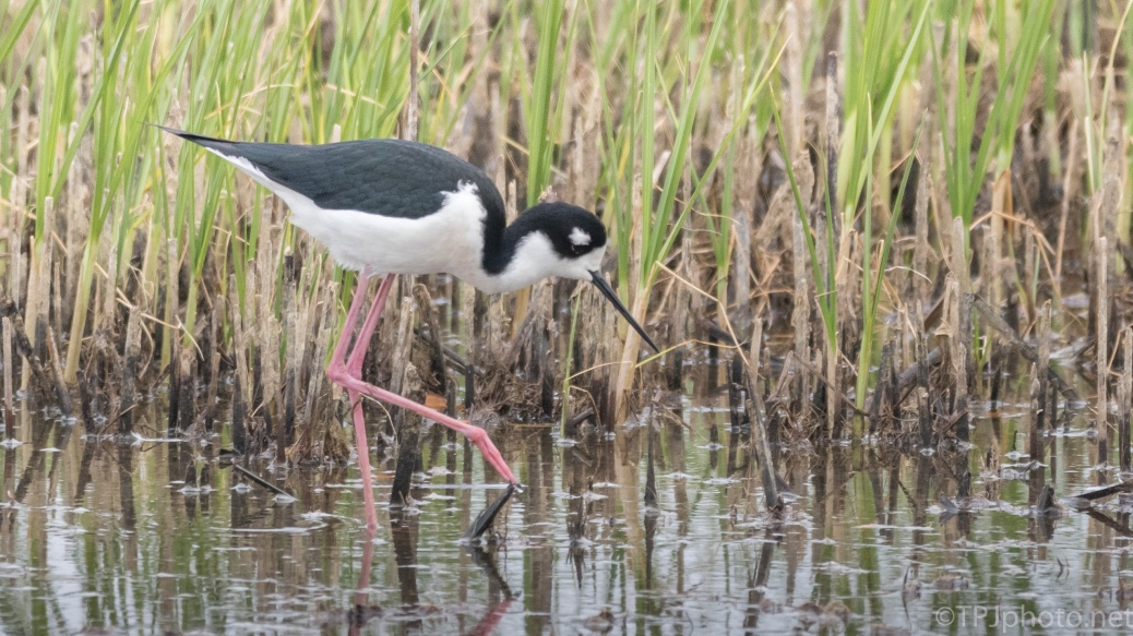 Black Necked Stilt In Marsh Grass - click to enlarge