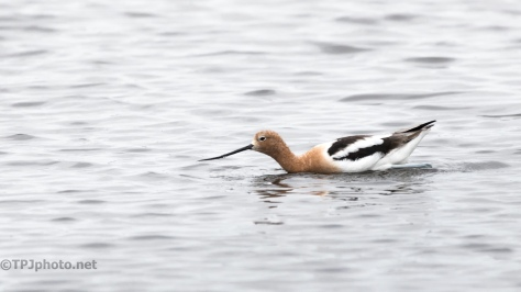 Avocet, Deep Water - click to enlarge