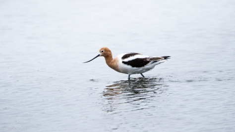 Group Of American Avocets - click to enlarge