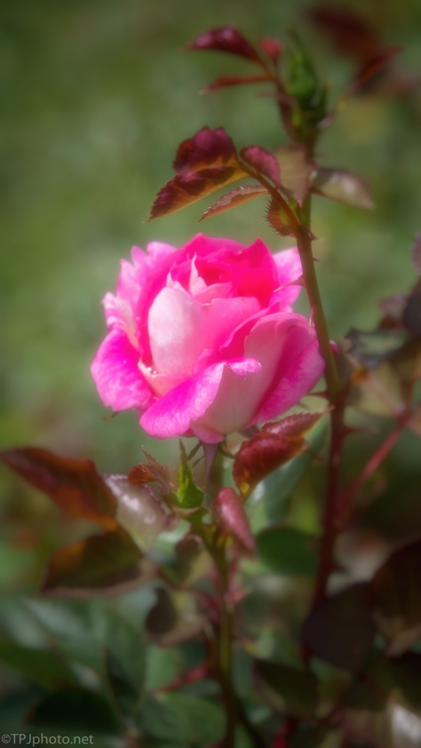 Soft Rose - click to enlarge