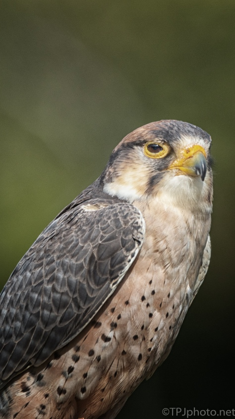Lanner Falcon, Shot Portrait - click to enlarge