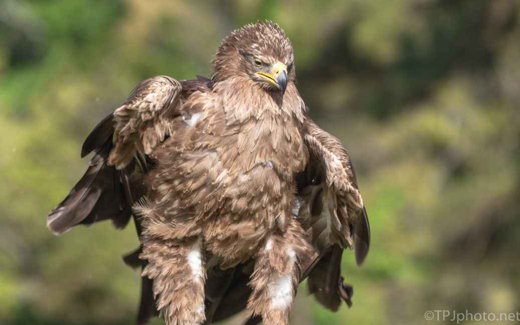 Tawny Eagle - click to enlarge