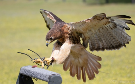 Red Tailed Hawk, In Flight - click to enlarge