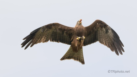 Yellow-billed Kite, Mid Air Feeding - click to enlarge