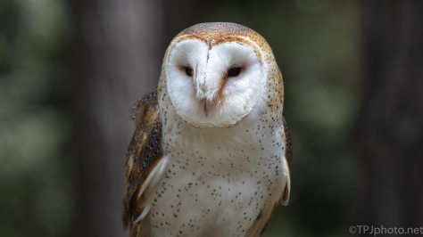 Barn Owl, Looking Good For His Shoot - click to enlarge