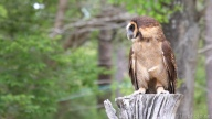 Asian Wood Owl, A Series - click to enlarge