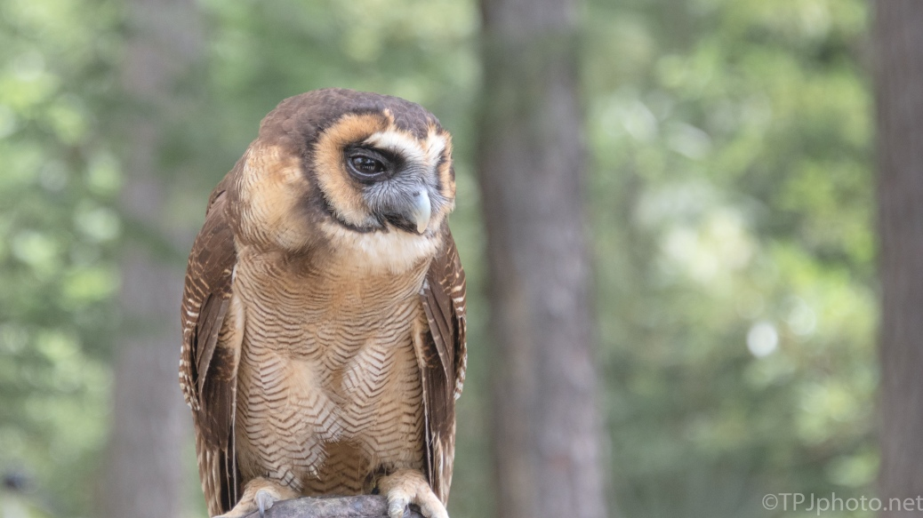 I Think He's Bored, Owl - click to enlarge