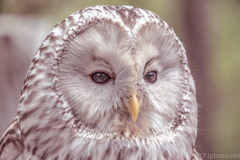 Ural Owl, Portrait Style - click to enlarge