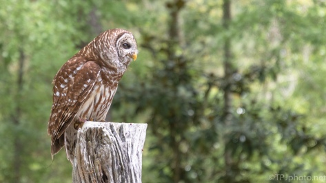 Posing Barred Owl - click to enlarge