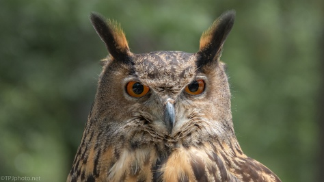 Eurasian Eagle Owl - click to enlarge