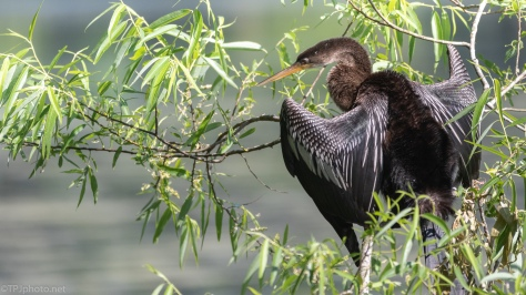 Anhinga Getting Dry - click to enlarge