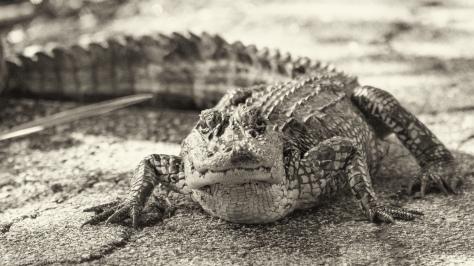 Impasse, Alligator - click to enlarge