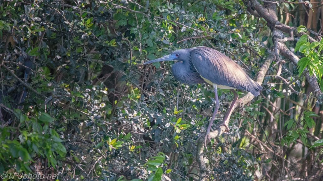 Tricolored Heron, Long Shot, Good Light - click to enlarge