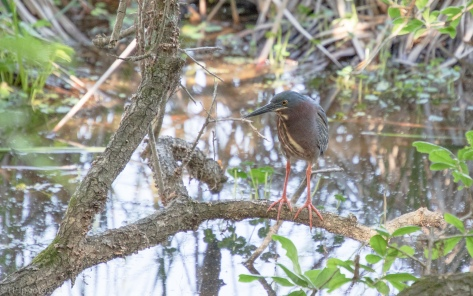 Green Heron In A Familiar Spot - click to enlarge
