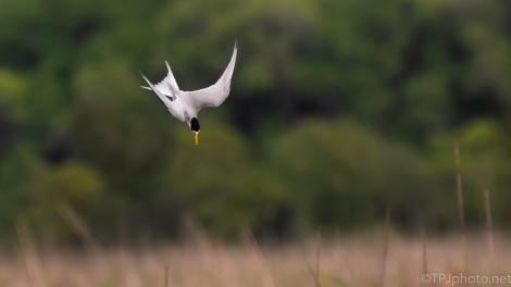 White Lightening, Tern - click to enlarge
