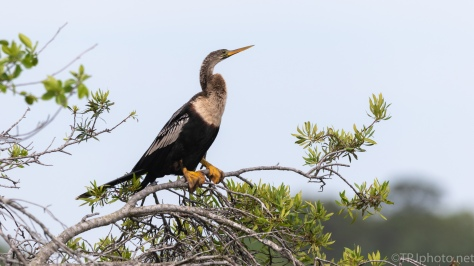 Anhinga, Sitting On The Marsh Trail - click to enlarge
