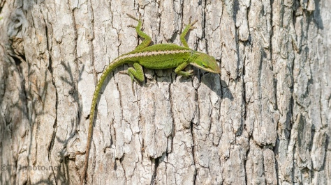 Green Anole - click to enlarge