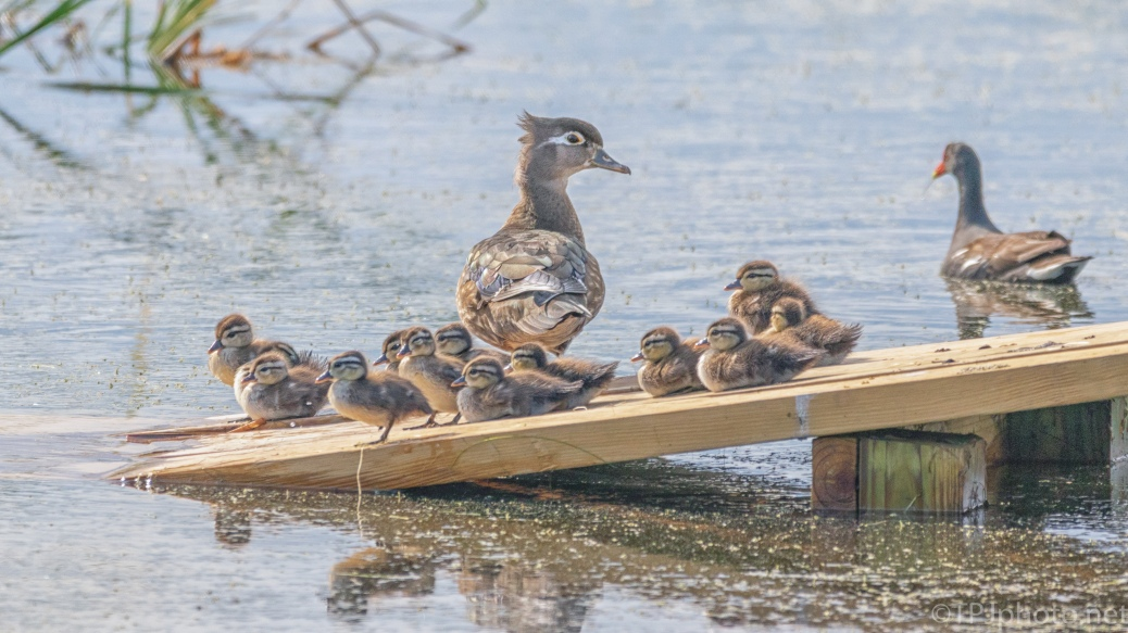 Wood Duck Tribe - click to enlarge