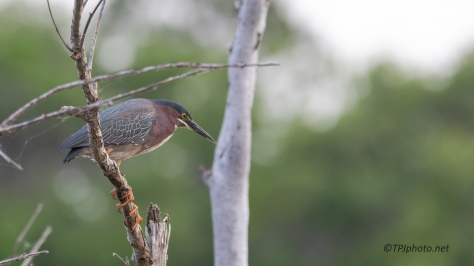 Green Heron, Really Big Feet ! - click to enlarge
