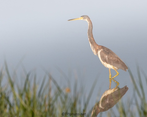 Early Morning Tricolor Heron - click to enlarge
