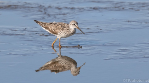 Yellow Legs, Lesser - click to enlarge
