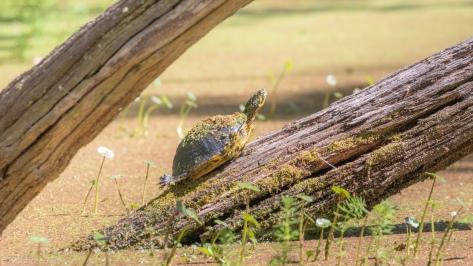 Each End, Turtle