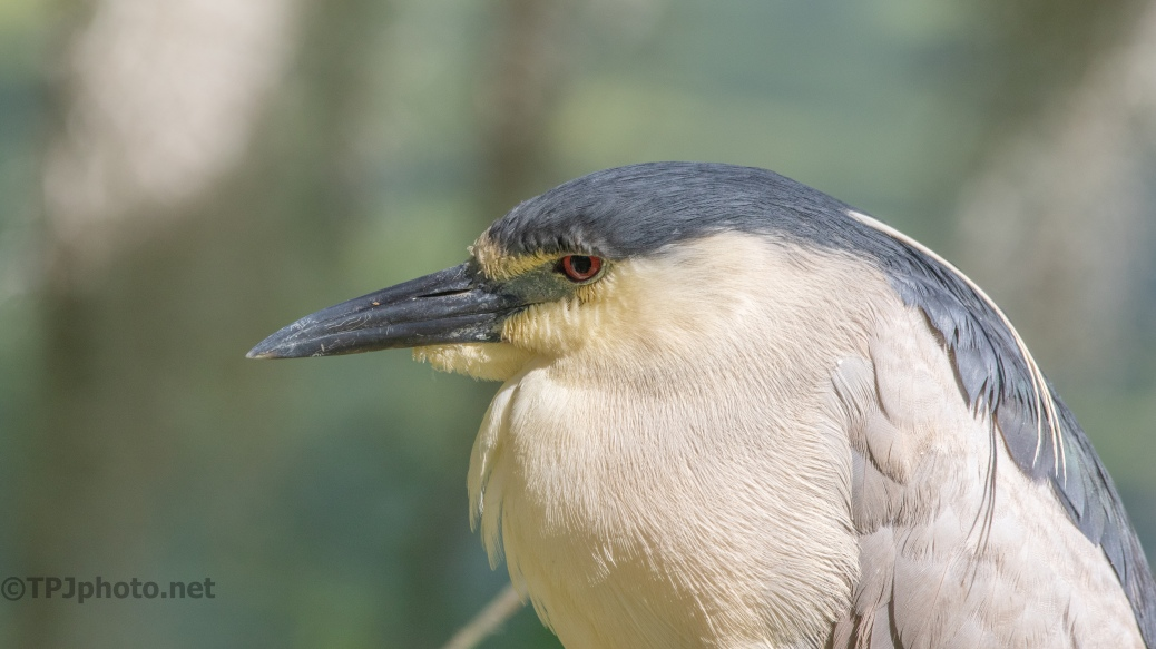 Black-crowned Night Heron Close Up - click to enlarge