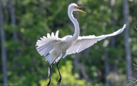 Great Egret, Making A Grand Entrance - click to enlarge