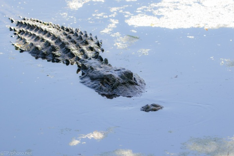 Staking His Claim, Alligator - click to enlarge