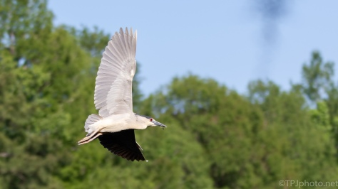 High Speed Night Heron - click to enlarge