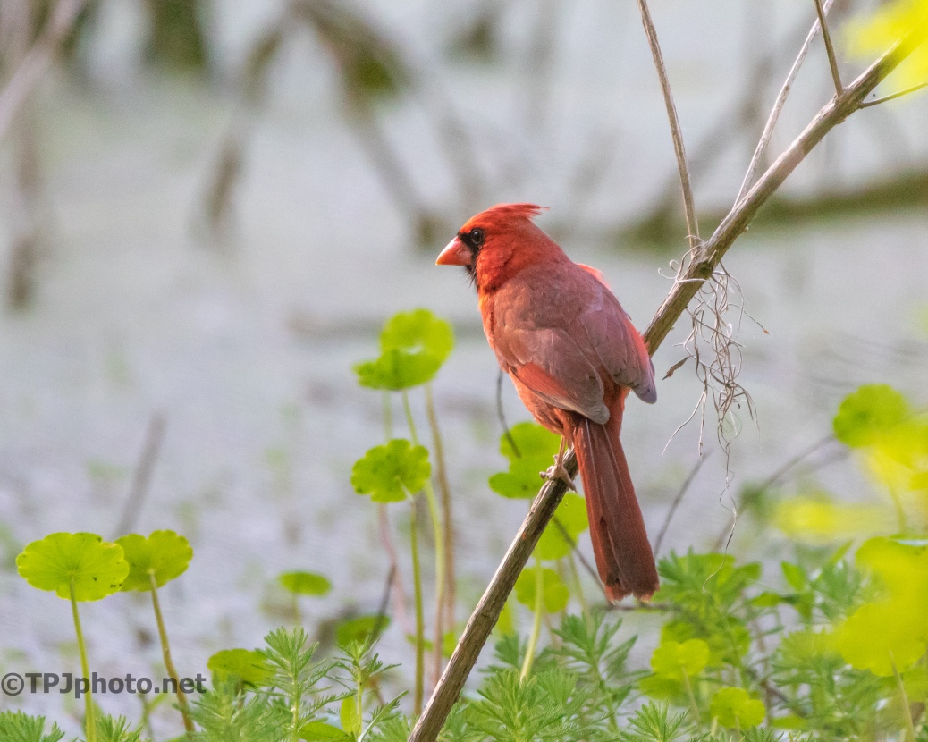 Northern Cardinal - click to enlarge