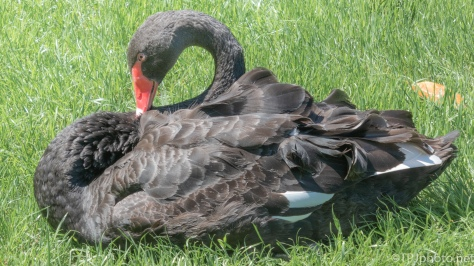 A Transplant, Black Swan - click to enlarge