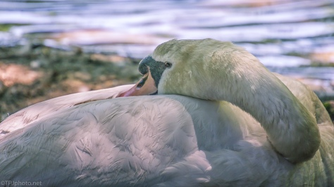 Resting Swan - click to enlarge