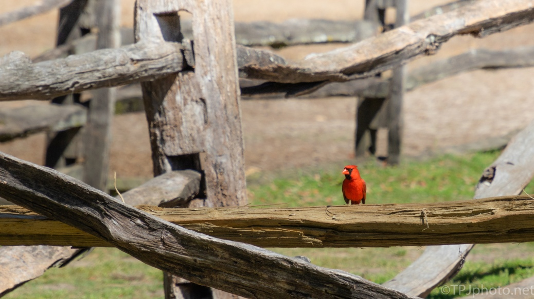 Cardinal In The Fence Posts - click to enlarge