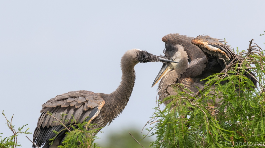 The Dominant Sibling, Great Blue Heron - click to enlarge