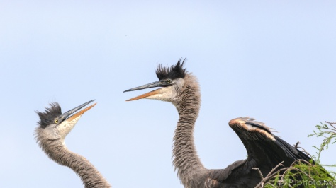 Siblings, Great Blue Heron - click to enlarge