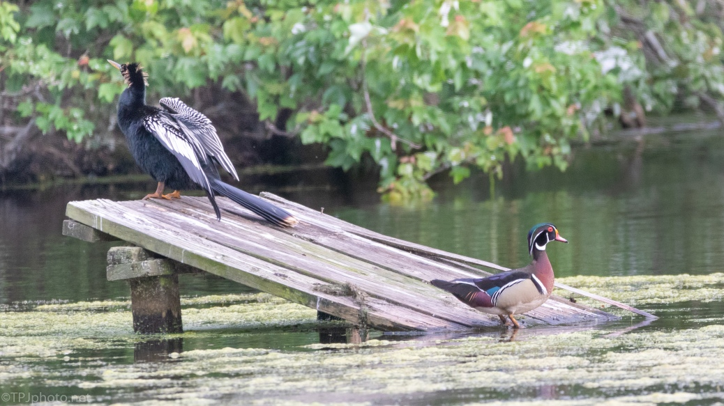 Sharing Space, Anhinga, Wood Duck - click to enlarge