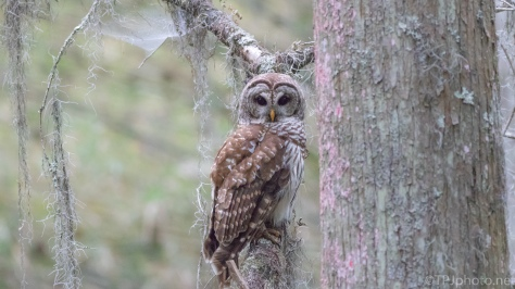 Barred Owl At The End Of The Day - click to enlarge