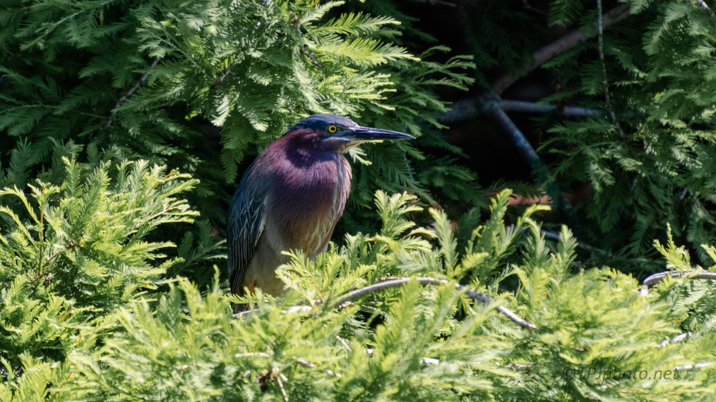 Green Heron In The Brush - click to enlarge