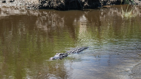 Some Days Are All About The Alligators - click to enlarge