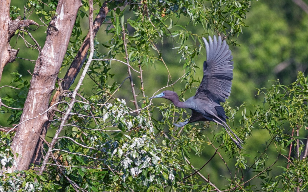 Little Blue Heron, In Purple - click to enlarge