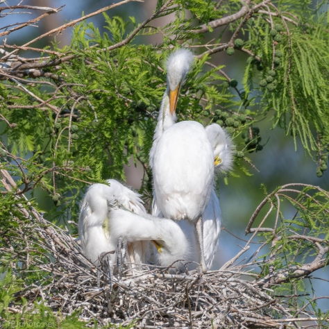 Great Egrets In The Making - click to enlarge