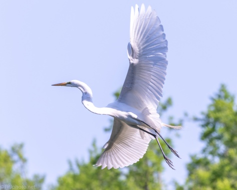 Adult Great Egret - click to enlarge